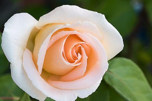 rožė,rožinis,gėlės,Raudona roze,rožinė rožė,anglų rozė,rožių šeimos,atidaryta roze,rožių žydėjimas