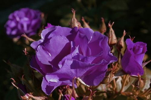 rose rhapsody in blue blue rose