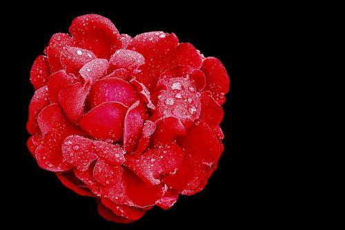 rose red rose blossom