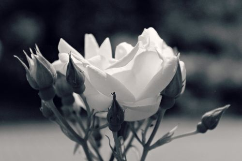 rožė,gėlė,žiedas,žydėti,gamta,balta,sodo rožės,augalas,sodas,išaugo žydėti,žydėti,gražus,romantiškas,budas,flora,vasara,pavasaris,juoda ir balta,Uždaryti
