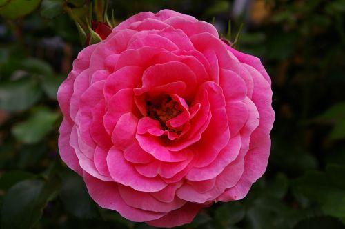 rose pink rose scented rose