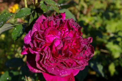rose red rose scented rose