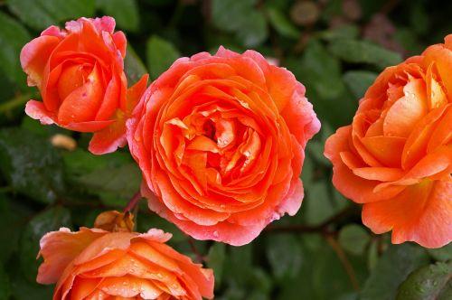 rose orange rose scented rose