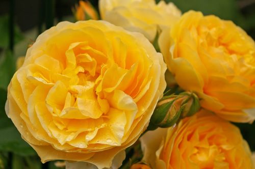 rose scented rose blossom