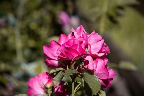 rose pink blossom