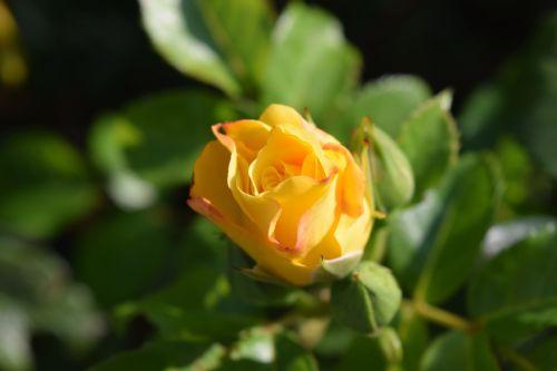 rose yellow blossom