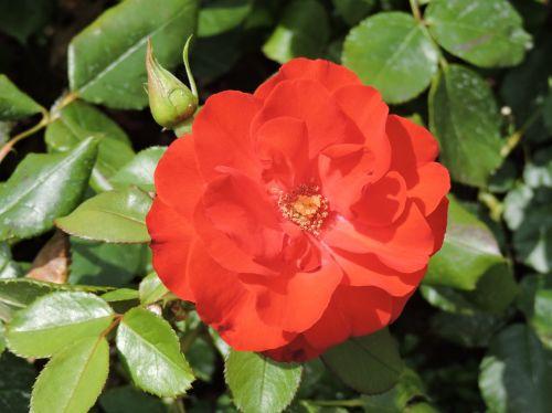 rožė,raudona,gėlė,žiedas,žydėti,maža gėlė,makro