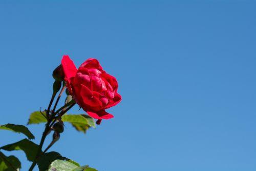 rožė,gėlė,raudona,Raudona roze,raudona gėlė,žiedas,žydėti,sodas,Sode,dangus,vasara,augalas,gamta,Uždaryti,teksto laisvė,kopijuoti erdvę,neigiama erdvė