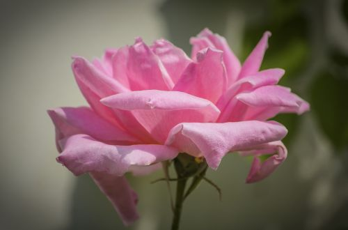 rose pink summer flower
