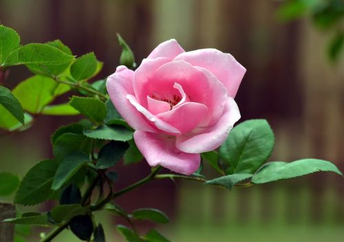 pink rose bud fragrance