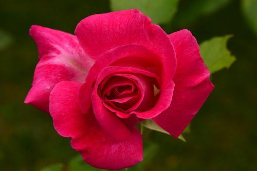 rožė,Uždaryti,gėlė,žiedas,žydėti,makro,raudona,gamta,išaugo žydėti,vasara,romantiškas,sodas,žydėti