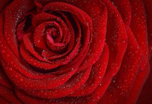 rose red rosa