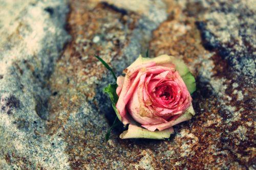 rose rose flower blossom