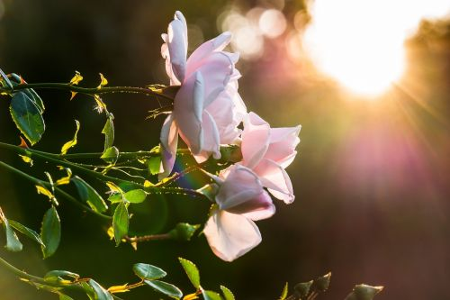 rose sunset sun