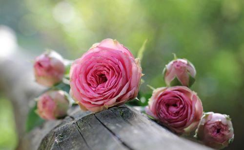 rose bush röschen pink rose