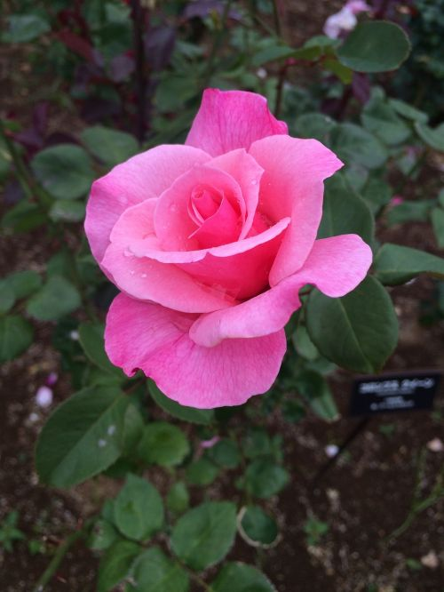 rose pink flowers