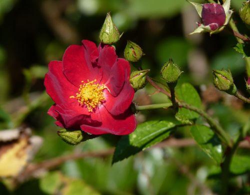 rose red autumn