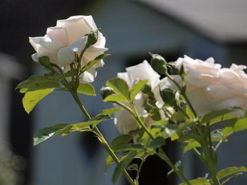 rose,garden,fragrant flower,blossom,bloom,nature,rose bloom,bloom,summer,bud,white,green