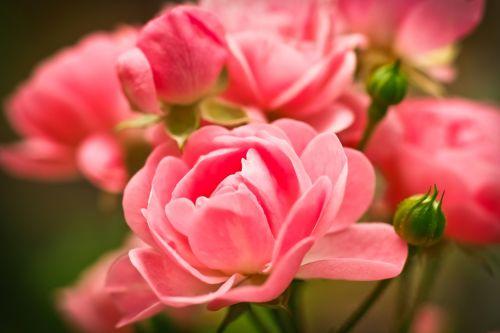rose flower pink rose