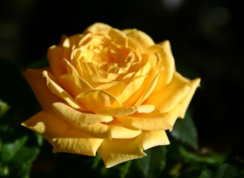 rose,flower,blossom,bloom,rose bloom,yellow,bloom,colorful,bright,close,macro,plant,nature,pot rose,decorative