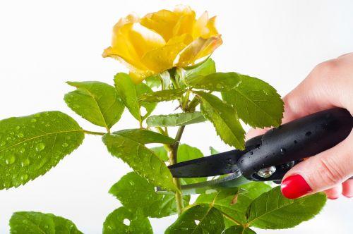 rose pruning garden