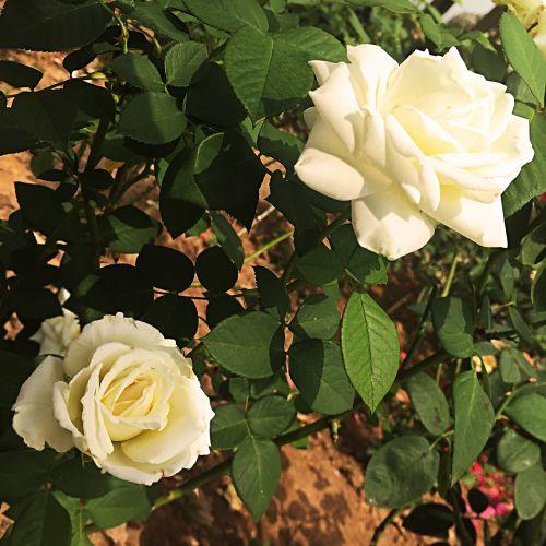 rose flowers green leaf