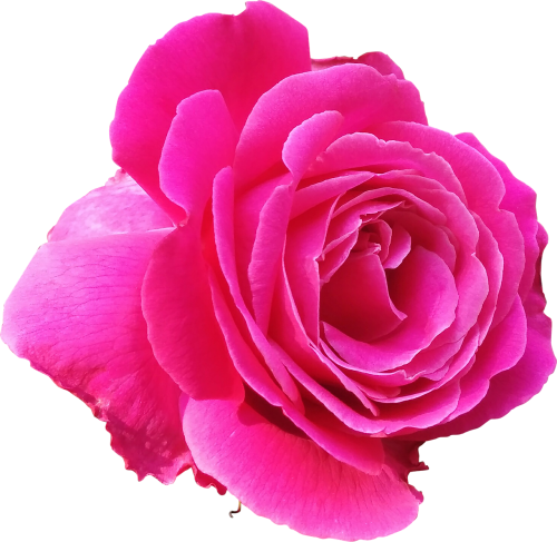 rose pink love