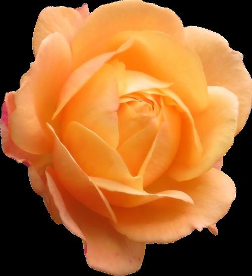 rose orange flower