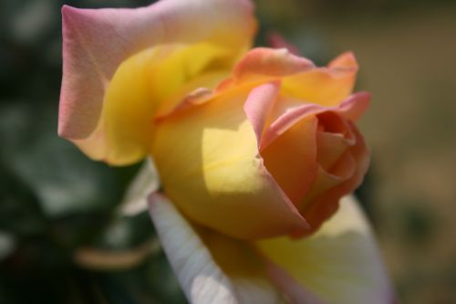 rose,pinky-yellow,opening,bloom,bud,petals,soft,delicate,green leaves,light