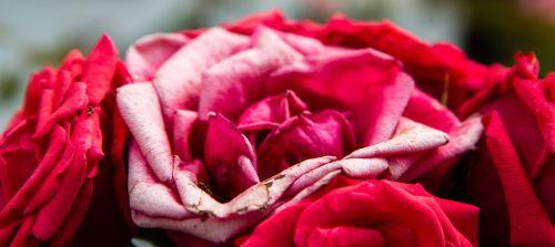 rose flower flora