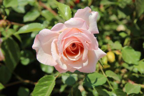 rose flowers nature