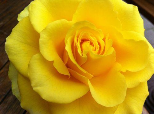 rožė,geltona,gamta,išaugo žydėti,Uždaryti,kvepalai,žydėti,grožis,gėlė,žiedas,žydėti