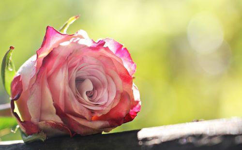 rose culture rose floribunda