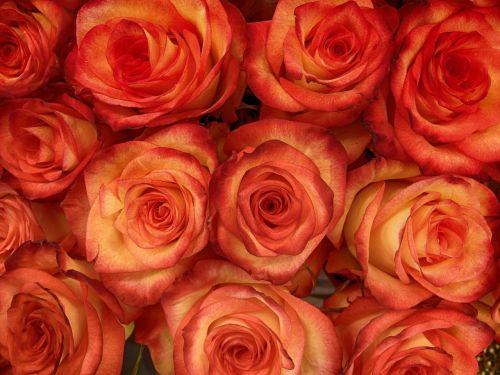 rose buds bloom