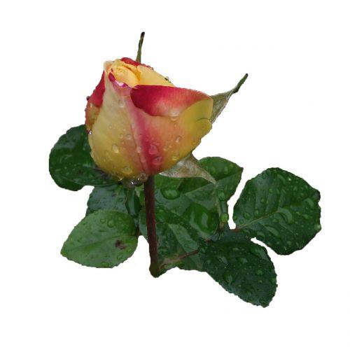 rose beauty rosebud