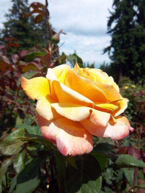 rožė,gėlė,portlandas,Portlando rožių sodas,sodas,gėlių,žiedas,pavasaris,žydi,žydi,geltona,žiedlapis,gamta,žydėti,botanika,pavasaris,sodininkystė,augalas,rožinis,gyvas,botanikos,subtilus,sezoninis,botanikos