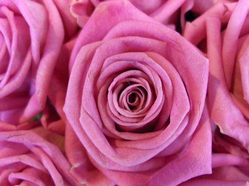 rožė,gėlė,rožinis,rožinė rožė,gėlės,augalas,žydėti