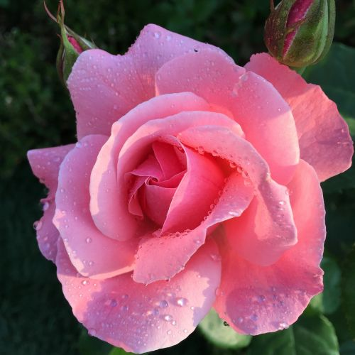 rose flowers trickle