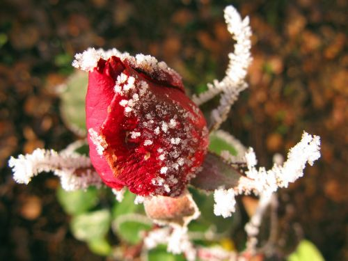 rose winter ice