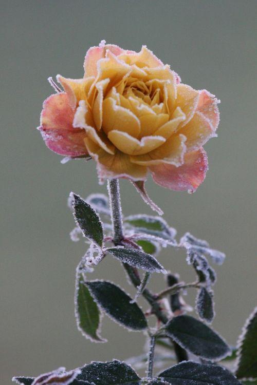 rose november winter