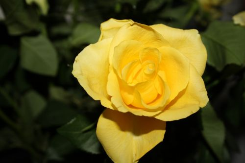 rose yellow flower