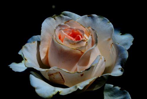 rose bloom bud