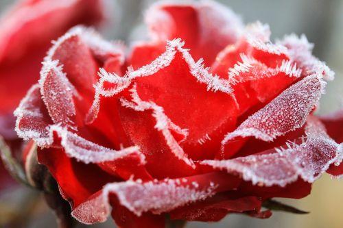 rose hoary wintery
