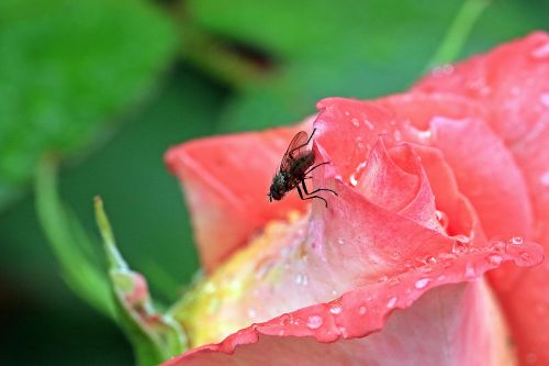 rose rosebud mucha