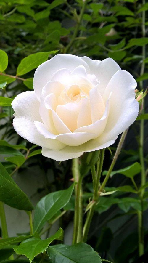 rose white blossom