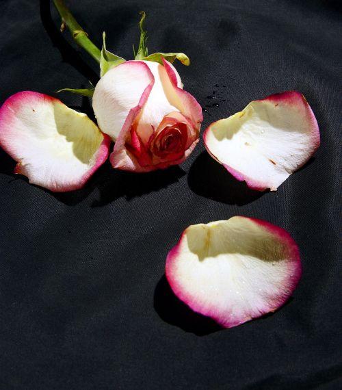 rose flower white rose
