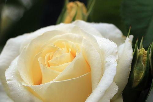 rose yellow rose rose flower