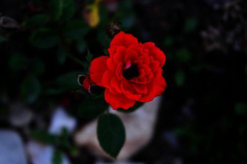 rose red valentine's day