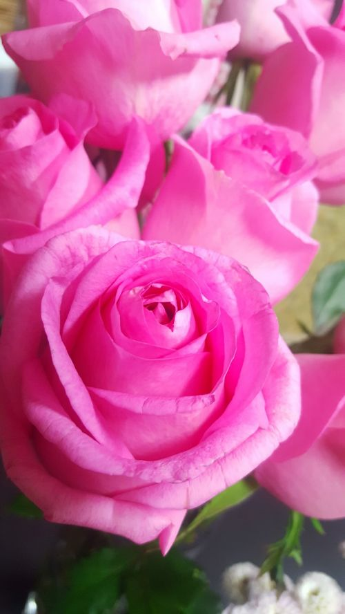 rose pink pink flower