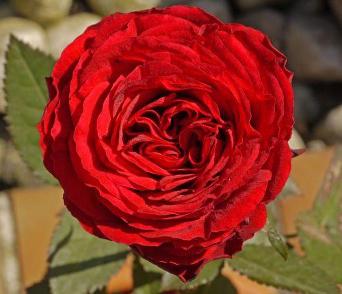 rose filled triple
